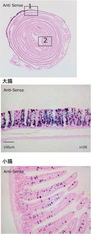 マウス腸管ロール