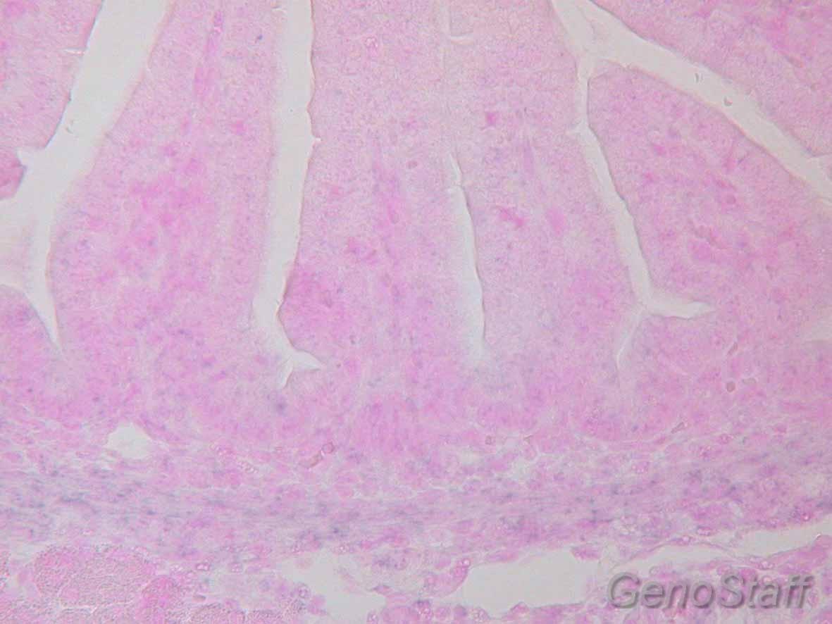 E17.5 腸管