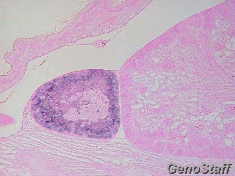 E18.5 副腎